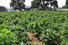 County Find Deputies Bee Plants Modesto 000 Calaveras Marijuana 8