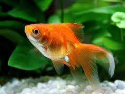 Resultado de imagem para peixinho dourado