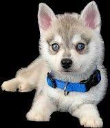 alaskan klee kai size breed toy alaskan klee kai size toy sized are full grown at up to