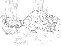 Western Spotted Skunk Coloring Page Free Printable Coloring Pages