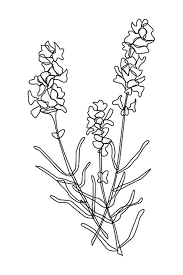 The Best Free Lavender Coloring Page Images Download From 40 Free