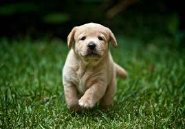 yellow lab puppies for sale.  Yellow Intended Yellow Lab Puppies For Sale A