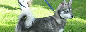 alaskan klee kai size alaskan klee kai breed guide learn about the alaskan klee kai