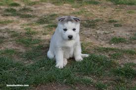 white and grey husky puppy. Plain Puppy Grey And White Husky Puppy Intended White And Grey Husky Puppy S