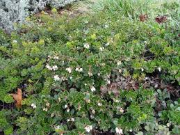this maturing groundcover manzanita shows the density of the foliage and small bell shaped flowers