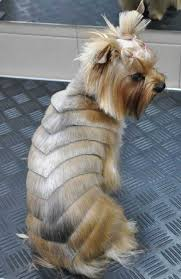 interesting yorkie hairstyle photo designer yorkshire terrier haircut picture