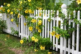 A white wooden picket fence with beautiful yellow flowers with large blooms  and leafy branches pouring