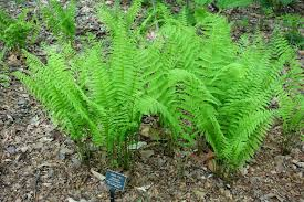 Image result for glade fern