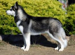the plush coat of this siberian adheres to the breed