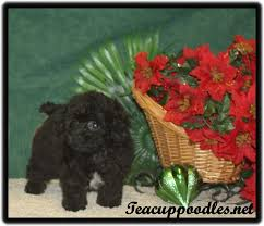 breed tiny teacup poodle weight 23 oz height 5 inches dob 10 08 18 posted 12 06 18 8 weeks old