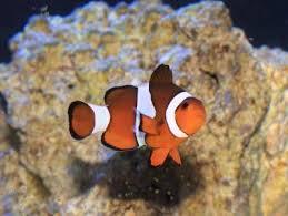 different colored clown fish. Exellent Clown Ocellaris Clownfish Intended Different Colored Clown Fish L
