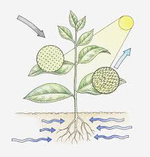 photosynthesis is the set of chemical reaction by which plants and other autotrophs convert energy from