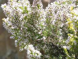 Erica arborea - Wikipedia