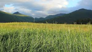 tall green grass field. Tall Field Of Green Grass Blows In Wind Flanked By Scenic Mountains, Clouds, Blue Sky On Kodiak Island, Alaska. 1080p Stock Footage Video 1523167 | T