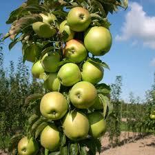 green apple fruit tree. green columnar apple tree for sale fruit e