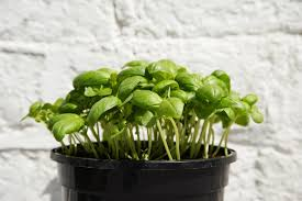 Kitchen Window Herb Garden How To Grow Cilantro In Containers Indoors
