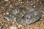 Images & Illustrations of common water snake