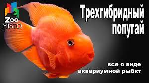 Трехгибридный Попугай - Все о аквариумной рыбке   Рыбка вида ...