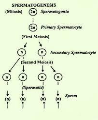 Explain Speramatogenesis With Flow Chart Biology Human