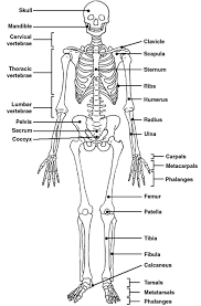 Small Picture Best 25 Skeleton labeled ideas only on Pinterest Human skeleton