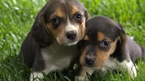 twin dog wallpaper