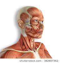 face anatomy face anatomy images stock photos vectors shutterstock