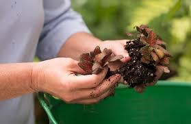 dividing plants before planting them