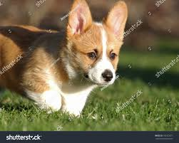 Corgi Dog Running Grass Stock Photo ...