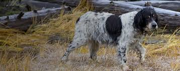 English Setter Weight Chart Llewellin Setter Dog Breed Facts And Information Wag