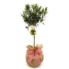 mini stemmed olive tree gift