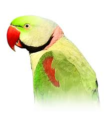Parrot Diet Chart Alexandrine Parakeet Personality Food Care Pet Birds By
