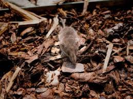 keeping mice out of mulch how to