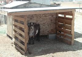 my goat bucky in his shelter