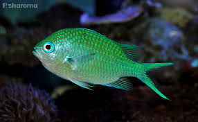 Green Chromis Detailed Care Guide For Your Pet Fish
