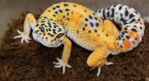 Leopard Gecko Morph Chart Leopard Gecko Genetic Morph Calculator Morphmarket
