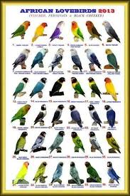 Lovebirds Pet Birds African Lovebirds Parrot Bird