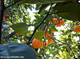 Resultado de imagen para imagenes de personas comiendo naranjas