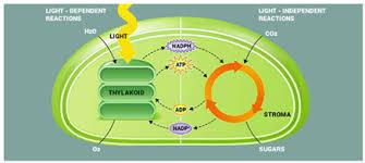 Light Dependent Reaction Process Of Light Reaction