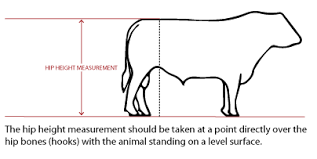 Cow Weight Chart Frame Score