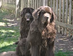 The Bigger The Newfoundland The Better Why Bigger Is Not