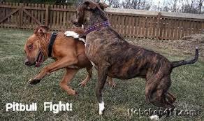 rottweiler vs pitbull. hoboken-pitbull-fight-308-harrison-st.jpg rottweiler vs pitbull