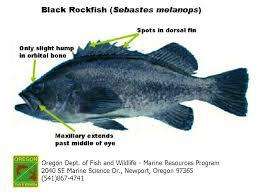 Odfw Finfish Species Rockfish