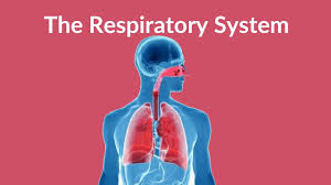 Image result for respiratory system of human