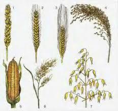 Что называют полем Культурные растения на полях зерновые  Зерновые культурные растения 1 2 пшеница 3 ячмень 4 просо 5 кукуруза 6 рис 7 овес