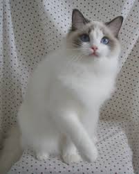 bordeaux ragdoll cats