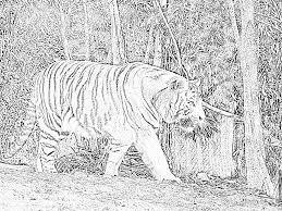 Coloriage Tigre Blanc 3 Imprimer Pour Les Enfants Dessin Tigre