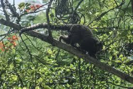 Resultado de imagem para morte de micos febre amarela