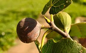 How To Tell When Figs Are Ripe Stark Bros