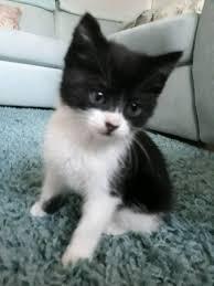 black and white kittens for sale. Plain Black Beautiful Little Black And White Kitten For Sale Inside Black And White Kittens For Sale I