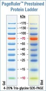 Pageruler Prestained Protein Ladder My Masters Degree Biology